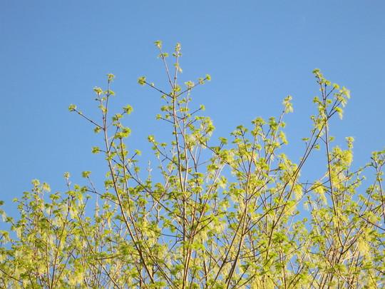 R S Blooming Sugar Maple 1