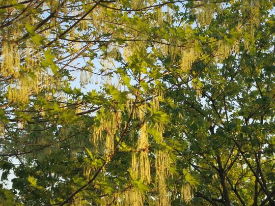 R S Blooming Sugar Maple 2