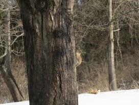 R S Grey Squirrel