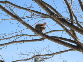 R S Red Squirrel